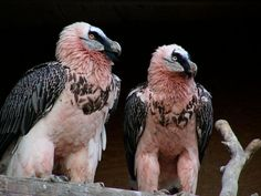 Bearded Vultures Are The Most Punk Rock Animals In The World || some interesting facts