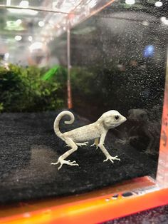 Scorpion gecko found at the Sacramento Reptile Show. Scorpion gecko found at the Sacramento Reptile Show. Scorpion gecko found at the Sacramento Reptile Show. Animals And Pets, Baby Animals, Funny Animals, Cute Animals, Les Reptiles, Cute Reptiles, Reptiles And Amphibians, Amazing Animals, Animals Beautiful