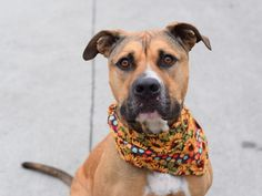 ROCKY aka NAPOLEAN_A0995679 ~ UPDATE (Dec, 31 2016): SAFE!!! Pulled by Looking Glass Animal Rescue. Happy New Life, sweetie!!!