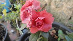 azaleia, lindas flores!