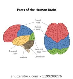 Parts of the human brain with main parts labeled. Lateral view and from above view. Vector illustration