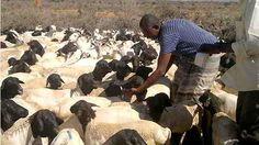 La Somalie enregistre des exportations record de 5 millions de têtes de bétail en 2014