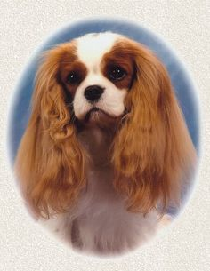 Welcome - The Laughing Cavaliers Cavalier King Spaniel, Cavalier King Charles Dog, King Charles Spaniel, Spaniels, Laughing, Washington, Hearts, Celebs, Usa