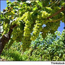 Moscato grapes like these in northern Italy are in high demand.
