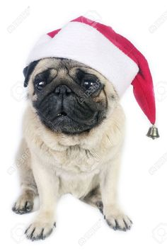 Pug Dog Wearing A Santa Hat. Stock Photo, Picture And Royalty Free Image. Pic 3882101.