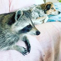 It's Monday Morning Muse time! Come up with your best caption and post it below!🎃🐶🐶💭 Tag a friend to challenge them as well! We will post the winner later today! Good luck!🍀 #pumpkintheraccoon #raccoon #instalike #instadaily #instagood #instagram #pet #love #weeklyfluff