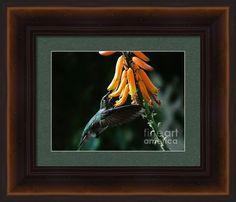 Hummingbird Framed Print By Chandra Nyleen
