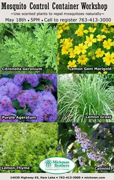 Mosquito repelling plants: Lemon Grass Basil Lemon Gem Marigold Purple Ageratum Lemon Thyme Catmint Citronella Geranium