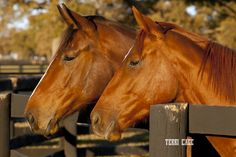 The warm glow of the late afternoon sun sets these chestnut thoroughbred horses on fire!