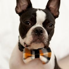 orange and black bowtie on a very hip looking Boston Terrier.