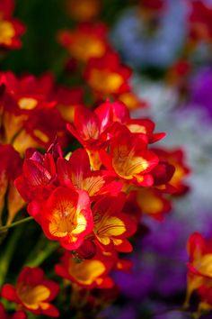 "Flower, Freesia ""Oberon"" by Yoko Nekonomania    Via Flickr:"