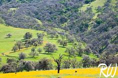 Spring Wildflowers in Tehachapi Mountains Foothills, Kern County, California