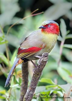 Red-faced liocichla (Liocichla phoenicea).