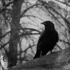 Black And White Gothic Crow by Gothicrow Images Black And White Gothic Crow by Gothicrow Images Bird Photograph - Black And White Gothic Crow by Gothicrow Images<br> Black And White Gothic Crow Photograph by Gothicrow Images Gothic Aesthetic, Witch Aesthetic, Book Aesthetic, Aesthetic Images, Ramses, Types Of Aesthetics, Gothic Photography, Black And White Aesthetic, Southern Gothic
