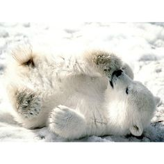 another polar bear cub ❤ liked on Polyvore featuring animals, pictures, backgrounds, white and winter