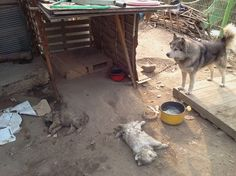 The mother stares at her puppies dead from freezing cold. Water turned to ice in the bowl. Neglect, abuse beyond imagination-no water or food for several days. Sign/share! https://www.change.org/petitions/fao-who-unesco-unwto-wto-of-the-united-nations-sanction-s-korea-for-horrific-cruelty-of-dog-meat-trade  and http://koreandogs.org/?page_id=1512 (via Stop the Dog and Cat Consumption in S. Korea on Facebook)