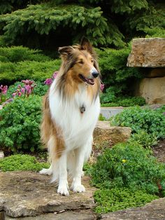 Buddy, Our Rough Collie | Flickr - Photo Sharing!