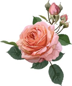 1423291584_pink-roses-collection-1-06.png (498×594)