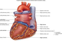 Labeled Diagram Of The Heart Pig heart dissection handout ...