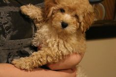 our micro mini goldendoodle! furry friends Pinterest