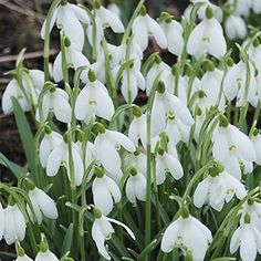 There's still plenty of time to get your snowdrops planted to enjoy in early spring. These delicate white flowers are the perfect addition to any late winter/early spring garden. Spring Garden, Winter Garden, Balcony Garden, Garden Plants, Spring Flowers, White Flowers, Spring Bulbs, Garden Living, Lily Of The Valley