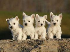 Westie pups!