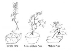 Bonsai Society of San Francisco is a great source on growing your Japanese Black Pine through all the stages.