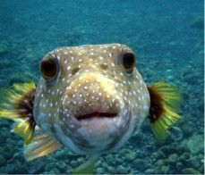 Learn fun facts about puffer fish. This informative guide covers everything you need to know about puffer fish in Florida. Underwater Creatures, Ocean Creatures, Underwater World, Deadly Creatures, Strange Creatures, Poisonous Animals, Balloon Fish, Moving To Hawaii, Mundo Animal