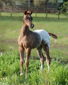 Showbiz Arabians   Cochise SA  (Padrons Psyclone x Back Woods Barbie SF) 2013 Half-Arabian/Appaloosa colt