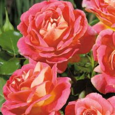 Shazam! Floribunda Rose Pink blooms with a yellow reverse absolutely glow in garden or vase!