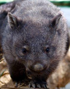Wombat. Australian indigenous animal (mammal)
