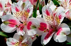 Alstroemeria Flowers by stephencurtin, via Flickr