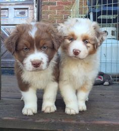Beautiful Australian Shepherd Puppy