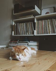 Too hot for Siberian cats #augustusclaude #augustusthesiberian #charlukerecords