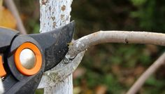 Výhony, které směřují dovnitř koruny, lze odstranit celé Pruning Shears, Bald Eagle, Garden Tools, Garten, Gardening Scissors, Outdoor Power Equipment
