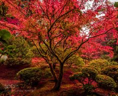 red tree in the portland japanese garden by markbowenfineart via http://ift.tt/2g6WtRZ