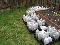 wintersown seeds - snug in their planting containers - 2 liter soda bottles make vented mini greenhouses