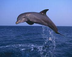 Fotos: Cetáceos: orcas, ballenas y delfines - Delfín mular