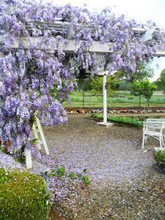 Garden. wisteria in March