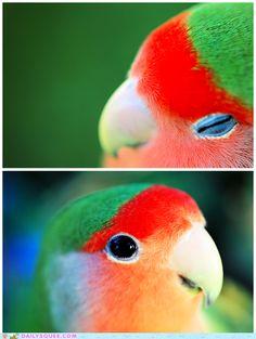 Vivid lovebird