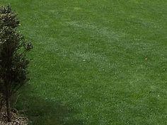 Zoysia tenuifolia, Grama-japonesa, Grama-mascarenha, Grama-veludo
