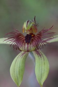 Dancing-Spider-Orchid - Caladenia discoidea - Flickr - Photo Sharing!