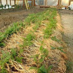 Planted last season ready to eat now! @shoshoneriverfarm wintered carrots coming soon to a market near you! . . . . . . . #food #farmtotable #foodporn #instafood #yumm #delicious #codywyoming #codywy #codywyo #wyoming #idaho #montana #wyominggrown #growninwyoming #thatswy #wyomade #yellowstone #tetons #seedtoplate #farmtofork #eat #eathealthy #eathealthyfood #healthyfood #healthyeats #farm #farmtablewest