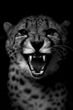 time to go Angry Cheetah Guepardo Beautiful Cats, Animals Beautiful, Big Cats, Cats And Kittens, Animals And Pets, Cute Animals, Cheetah Face, Tier Fotos, Spirit Animal