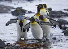 King Penguins on Macquarie Island, Australia. Penguin Walk, King Penguin, Penguin Love, Emperor Penguin, Penguin Party, Penguins And Polar Bears, Cute Penguins, Penguin Pictures, Pet Birds