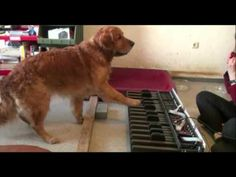 Do Dogs Have Perfect Pitch? by Schlauwauwau: Dogs play the piano after spoken note names. From 5:10 on they play by ear, from 10:50 on one of them plays a tune by ear! Thanks to @Nancy Dudgeon! #Dog #Piano #Perfect_Pitch