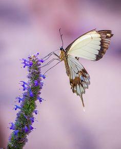 Mocker swallowtail | rvtn | Flickr