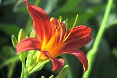 Budding and Blooming Photo Contest | Day Lily
