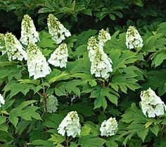 Oakleaf Hydrangea (quercifolia) Snow Queen full/part sun zones 5-9. Upright growth 4-6' high, 5-6' wide.