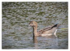 Australian Wood Duck - Immature, Casey Wetlands, ACT